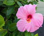 A Specially Created Pink Hibiscus that can be Found in Coconut Plantation